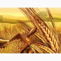 Пшеница протеин 13, 5%