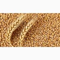 Пшеница из Алтайского Края оптом 50 тонн