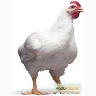 Инкубационные яйца РОСС 308 из Европы с доставкой