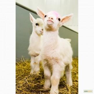 Продам мясо молочных козлят