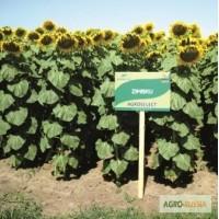 Гибриды семян подсолнечника, выращенных в Республике Молдова