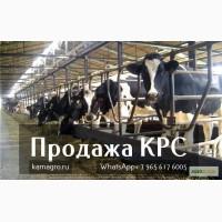 Племенной КРС молочного направления (холмогорской)