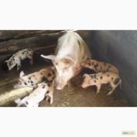 Поросята свиноматки кабаны