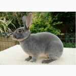 Продаю чистопородных кроликов породы рекс