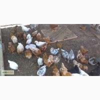 Цыплята бройлеры 2-3 недельные на доращивание