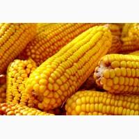 Нерисса Syngenta семена гибридов кукурузы
