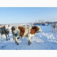 Бык симментал от высокопродуктивной коровы