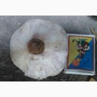 Чеснок на посадку, посадочный материал, сорт Любаша, семена чеснока