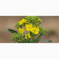 ООО НПП «Зарайские семена» продает семена рапса ярового оптом