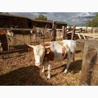 Продам Бычков на мясо казахская белоголовая и помесь