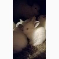 Продам кролей мясных пород