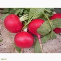 Мисато Ред F1, семена дайкона / редьки, 500 гр. (Саката)