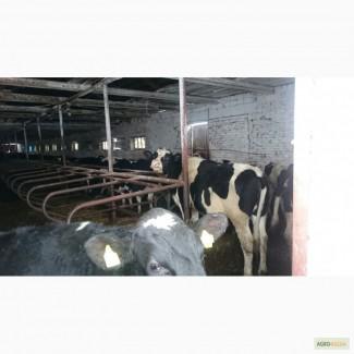 Продаем СТАДО НЕТЕЛЕЙ молочных и мясных пород КРС оптом по РФ и СНГ
