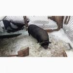 Вьетнамская вислобрюхая свинья, 2 года 4 мес