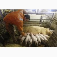 Сальные и мясные свиньи для вас