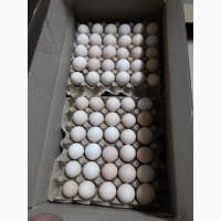 Инкбационное яйцо бройлера Росс-308оптом