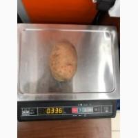 Крупный картофель от 270 гр. Вектор. Из Беларуси
