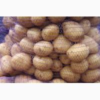 Семенной и продовольственный картофель оптом с КФХ