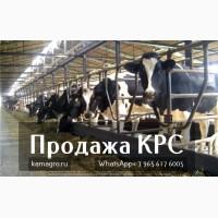 Продажа коров дойных, нетелей молочных пород в Казахстан