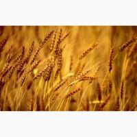 Продаем семена озимой пшеницы на с/х сезон 2020