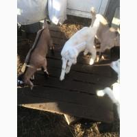 Молодняк высокоудойных коз
