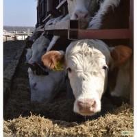 Продаются племенные стельные коровы породы герефорд