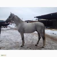 Продам лошадь Арабо-Орловская помесь