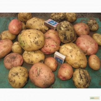 Сорт картофеля пермский