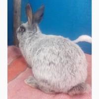 Калифорнийские кролики, кролики породы Серебро