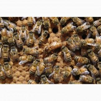 Пчелопакеты Карника 2021