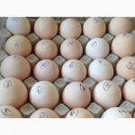 Поставки инкубационного яйца из Чехии, Белоруссии, Ирана