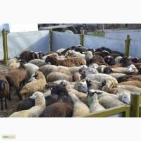Раеализуем живых барашков в Уфе на курбан, акику и др. Мечеть Мадина-Инорс