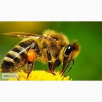 Пчёлы карпатка