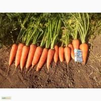 Морковь Аббако Крым