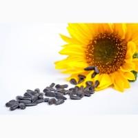 Семена подсолнечника (гибриды SUMO)