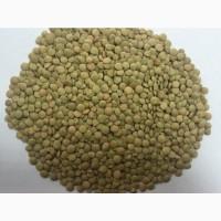 Семена чечевицы (чечевица)