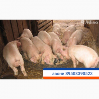Поросята с доставкой продаются тел.89508390523