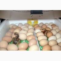 Цыплята кохинхин и помесные, инкубационные яйца