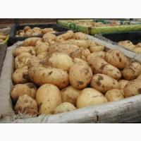 Оптовая продажа картофеля со склада фермерского хозяйства
