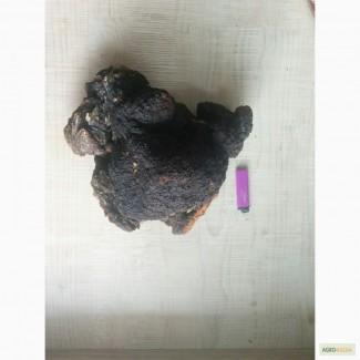 Закупаем древесные грибы (чага, трутовик, рейши)