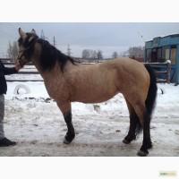 Продам лошадь Эстонский клеппер