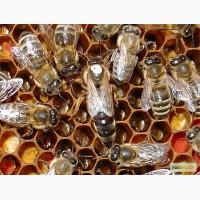 Пчеломатки карпатка из закарпатья - Мукачево