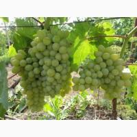 Виноград Калифорния