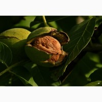 Саженцы ореха грецкого оптом