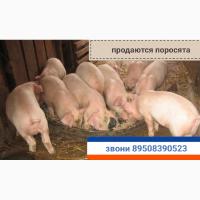 Поросята белые продаются тел.89508390523