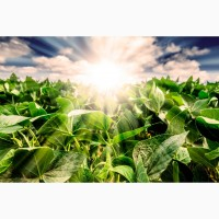 Семена сои Зуша высокопродуктивный новый сорт