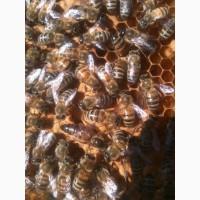 Пчелы пчелопакеты отводки Санкт-Петербург 2021