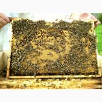 Пчелопакеты бакфаст B7, B34 оптом и в розницу