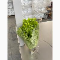 Продам салат листовой Афицион в горшочке