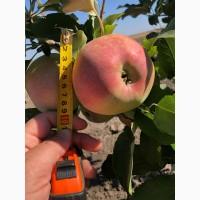 Продам яблоки сортов: Айдаред, Голден, Фуджи, Симиренко